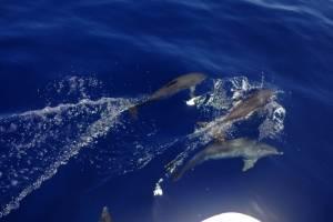 meezeilen-canarische-eilanden-dolfijnen.jpg